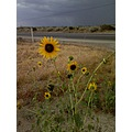 sunflowers on Hwy 58 before a storm