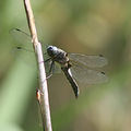 insect dragonfly nature luxembourg