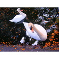 2008 funchal swans lake madeira portugal white flowers orange reflection