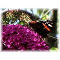 Butterfly on the Buddleia