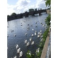 swans river water green blue sky clouds white