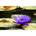 zespook lucknow india water lily