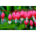 bleeding heart flower garden toronto
