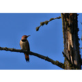 Spring has Sprung. A Northern Flicker surveys his turf beside Bigwood Lake in NW Ontario