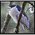 Black -crowned Night Heron