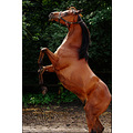 fotostudio paintpictures animals horse saijan