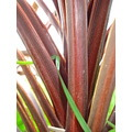 Nature Cordyline Grass Gillards macro