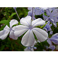 blue plumbago flower garden terrace home alora andalucia spain
