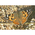 ButterflyPainted lady