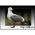 Herring_Gull Dingle Kerry Ireland Peter_OSullivan