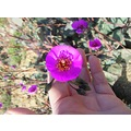 chile atacama desert flower