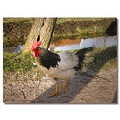 netherlands zaanseschans bird chicken nethx zaanx animx birdx chicx