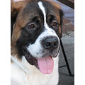 southstreet seaport newyorkcity manhattan saintbernard dog
