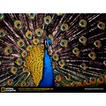 peacock1 Indian _copyright