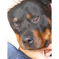 rottweiler dog canine animal pet