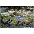 Wildlife natural history bird goosander spideyj
