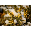 snow gorse knowstone devon