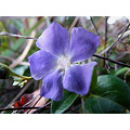 Periwinkle in January