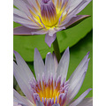 waterlily flower closeup judyss