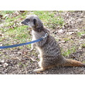 not something you normally see whilst on a walk! a meerkat on a lead?!