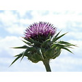 Cardo Flor Flower Thistle chardon Primavera Printemps Spain Meco