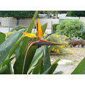rain shower excited bird of paradise plant perth littleollie
