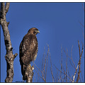 birds nature hawk