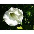 flower white morningglory