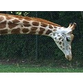 giraffe animal neck