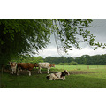 Cows Landscape Holland