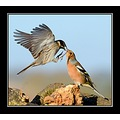 bird birds fight carlsbirdclub nature greylake somerset carl bovis reedbunting