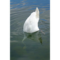reflectionthursday bird swan