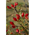 rosehips dawlish warren autumn