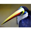 answer toucan beak birds
