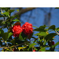 Yesterday or the day before, I passed by this Camiellia tree and noticed it for the first time th...