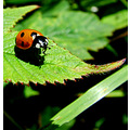 ladybird insect leaf