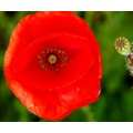 poppy red eye France summer nature macro flower