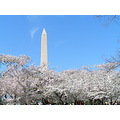 CherryBlossoms Washington WashingtonMonument