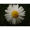Nature Plant Flower Bush tree Gillards Daisy Petals