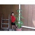 Joe helped me this morning to tie the tomatoe plant up