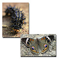 caterpillar bucleye butterfly