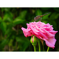 nature pink rose flower dragonfly