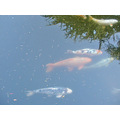 koi fish oakland museum omuseumfph pond garden reflections