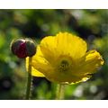 poppy flower bud spring yellow red furry