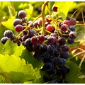 grape fruit nature august France summer