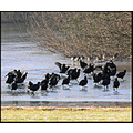 birds ice coots