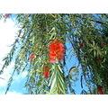 Bottlebrush / Oahu Island