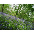 Bluebells Flowers Woodland