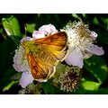 large skipper butterfly nature devon