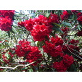 profusion of Red Rhodies